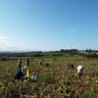 農大かぼちゃ収穫